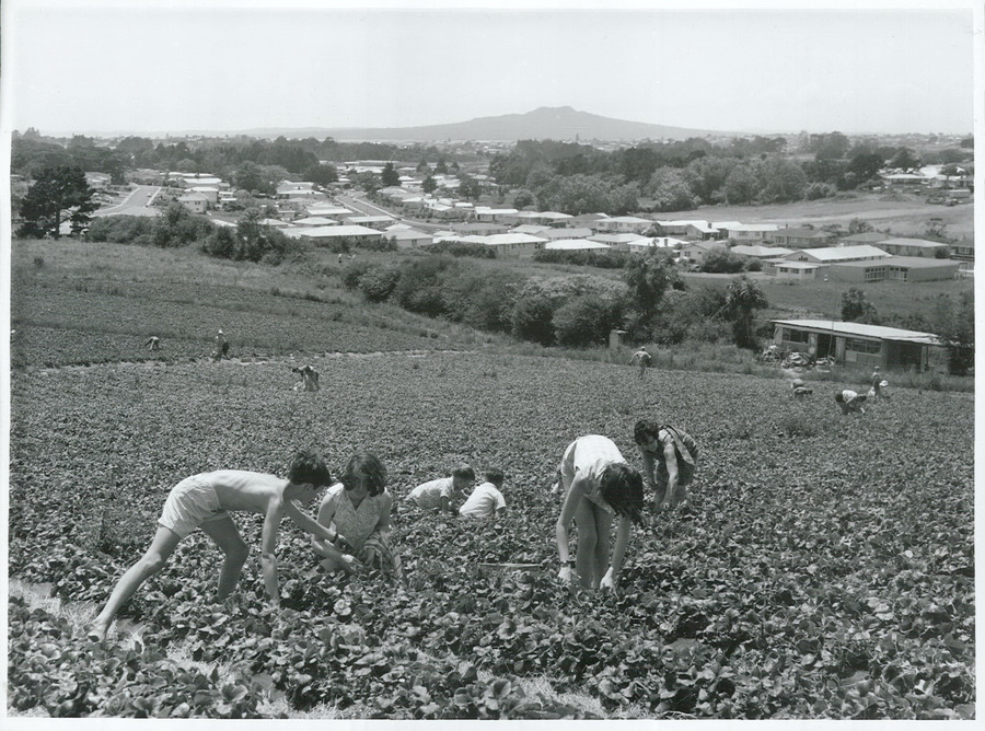Strawberry picking in Northcote, Auckland. Photographer: Mr Reithmaier. Image credit: Archives New Zealand. 1969.