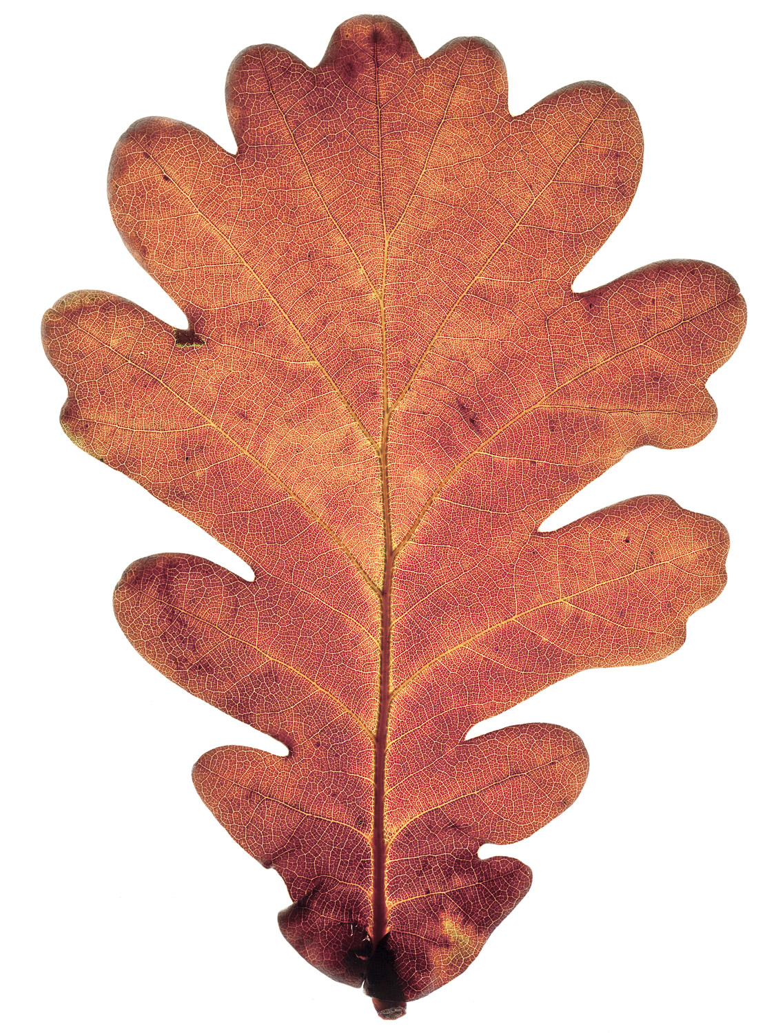 Dried Leaf #4, 2009