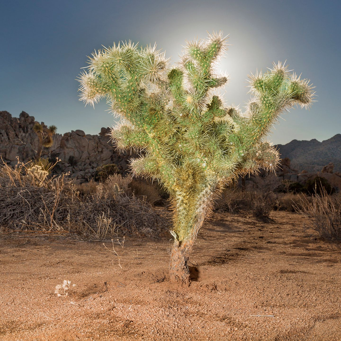 Cholla Cacti, California, 2017 from the 'Indifferent West' Series