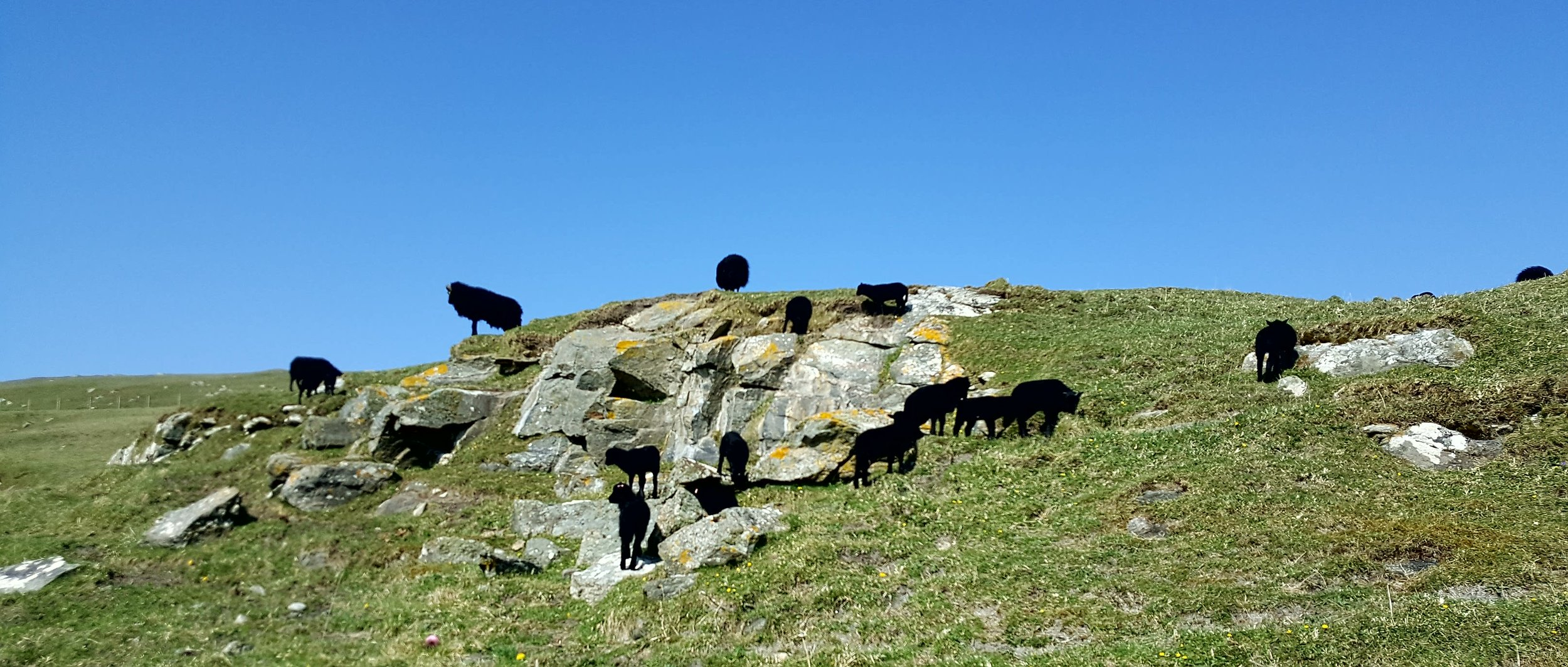 Helen's Hebridean Sheep and Lambs