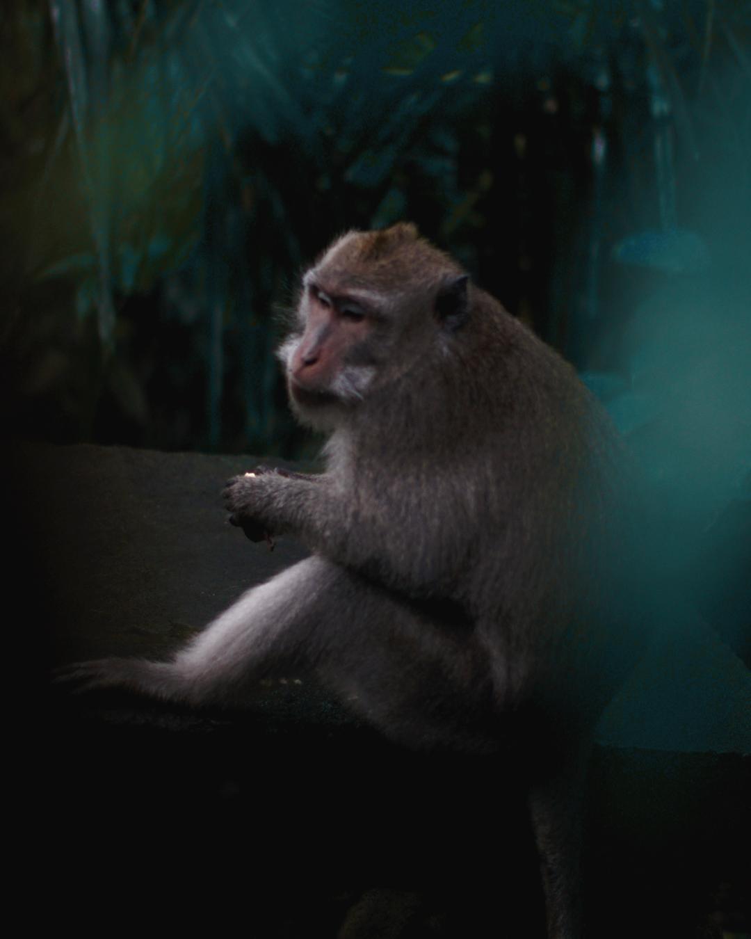 A cheeky monkey at The Monkey Forest. Photo: Jake McCabe.