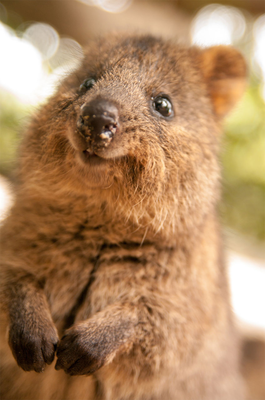 not this kind of quokka