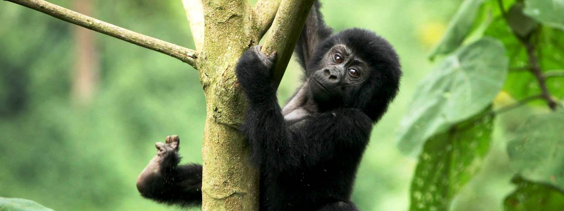 Gorilla trekking package rates – Mutanda Lake Resort Uganda - Close to bwindi, virunga, mgahinga