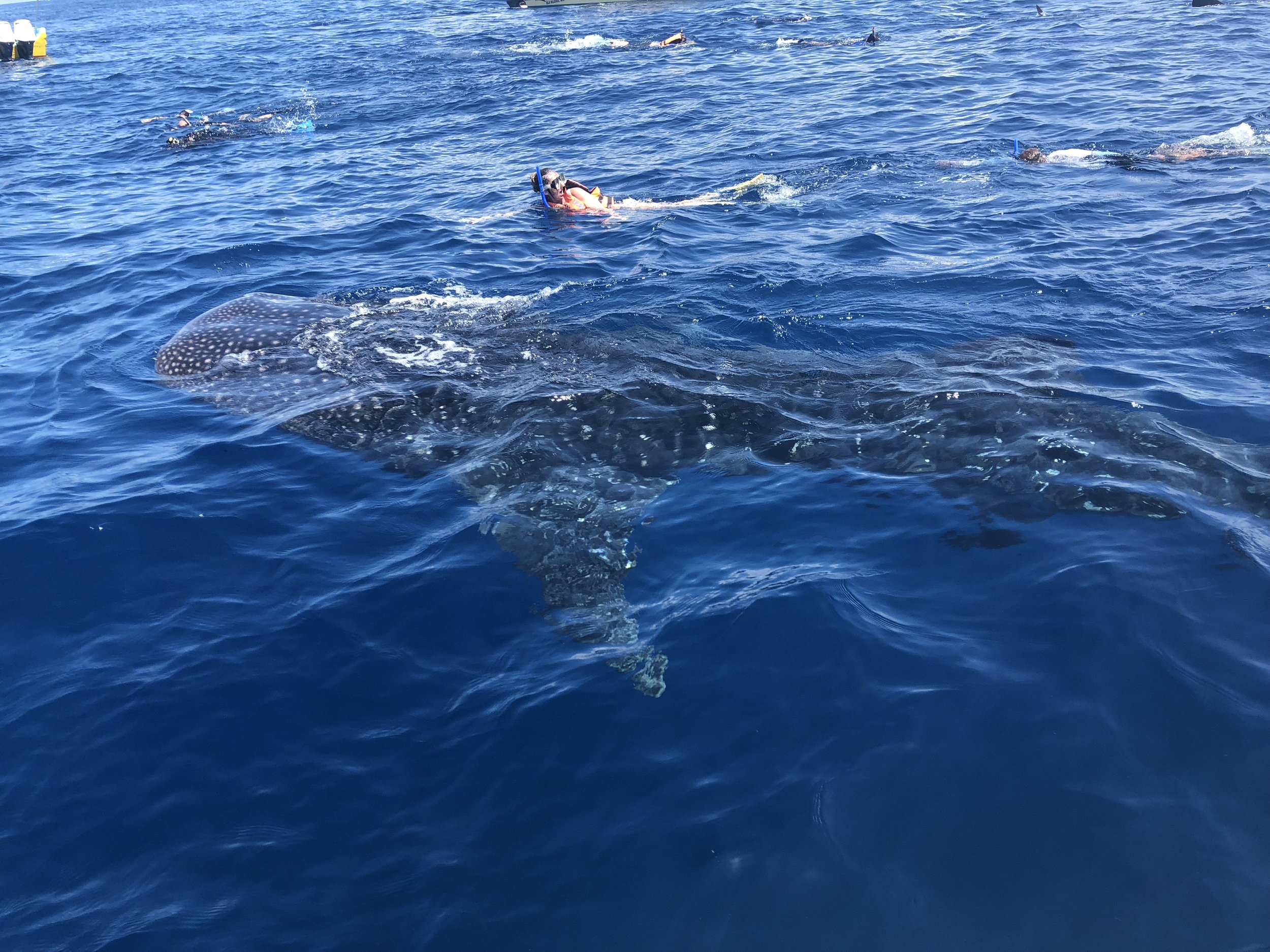 Whale sharks in Isla mujeres. The perfect honeymoon destination for the adventurous couple.