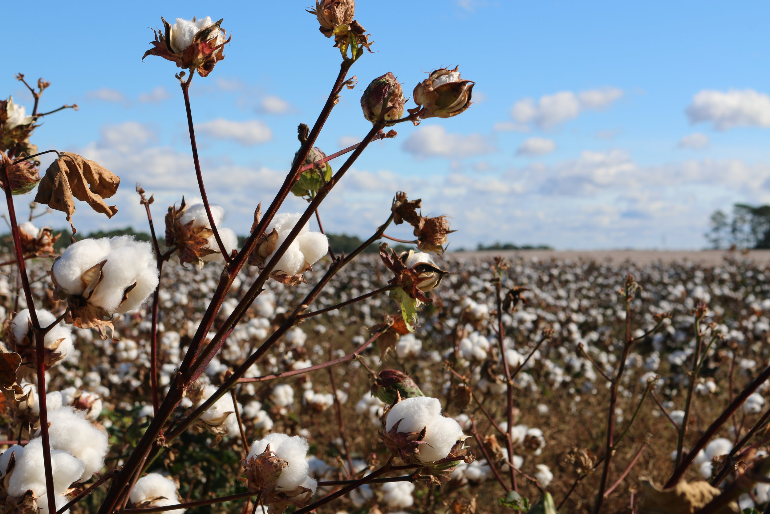 2. Harvesting - Organic upland and pima cotton is either picked mechanically or manually where it is simply allowed to freeze to expedite the harvesting process. The cotton must be stored in strictly controlled conditions to avoid the development of fungus, causing significant reductions in cotton quality. Chemical harvesting is prohibited under the NOP standard.