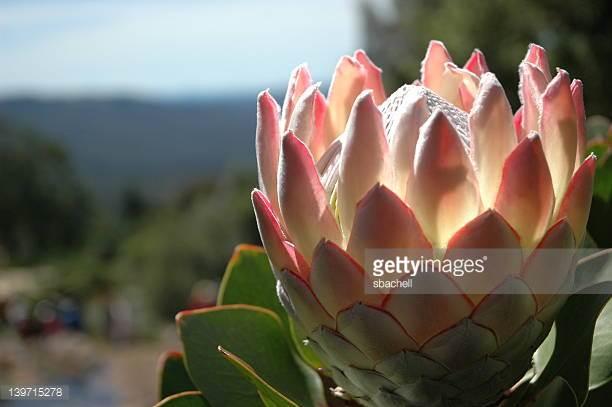 A King Protea.