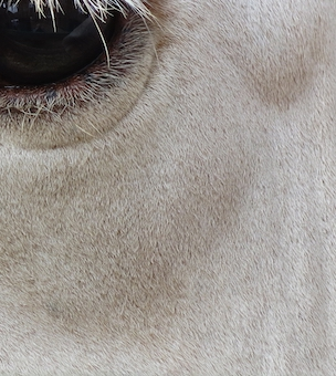 Cattle Eye.jpg
