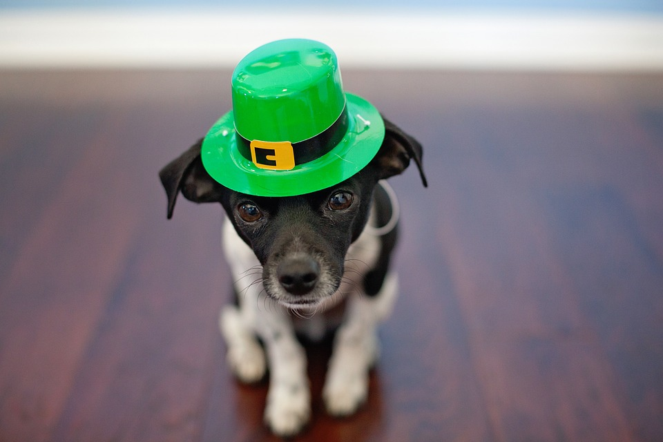 Happy St. Patrick's Day from this wee little pup!