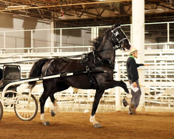 2016 Driving Horse Sale