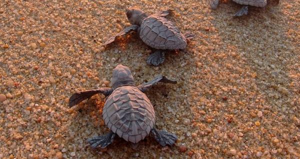 gallery_sea_turtle_hatchlings_sand.jpg