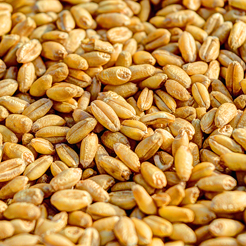 WHEAT GERM OIL     Triticum vulgare   Contains Vitamins E and D to help to nourish and rejuvenate skin.  BL, HC