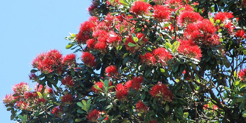 www.kiwiwise.co.nz_pohutukawa_flowers.jpg