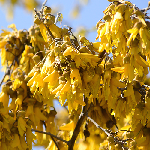 KOWHAI     Sophora tetraptera   Kowhai is a native New Zealand tree with golden yellow flowers that are commonly regarded as our national flower. The name Kowhai is the Maori word for yellow and the leaves were traditionally used for spiritual and medicinal purposes.    Photo credit