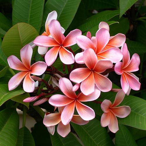 FRANGIPANI     Plumeria acutifolia flower   Frangipani flower extract has a rich, fragrant aroma and is moisturising and anti-inflammatory.