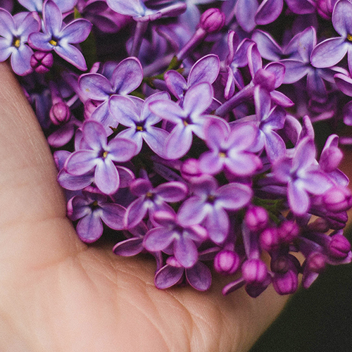 NZ LILAC     Hebe hulkeana   New Zealand is home to 95% of the Hebe species in the world and the Hebe hulkeana is native to New Zealand. It is a small shrub covered with long stalks of dainty, lilac coloured flowers that bloom during Spring in Malborough and the South Island.