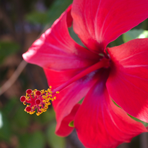 RED-FLOWERED HIBISCUS     Hibiscus sabdariffa extract   Red-flowered hibiscus is a natural source of alpha-hydroxy acids,which help to exfoliateand moisturise the skin. It is high in antioxidants, and is used by many cultures to make tea.    Photo credit