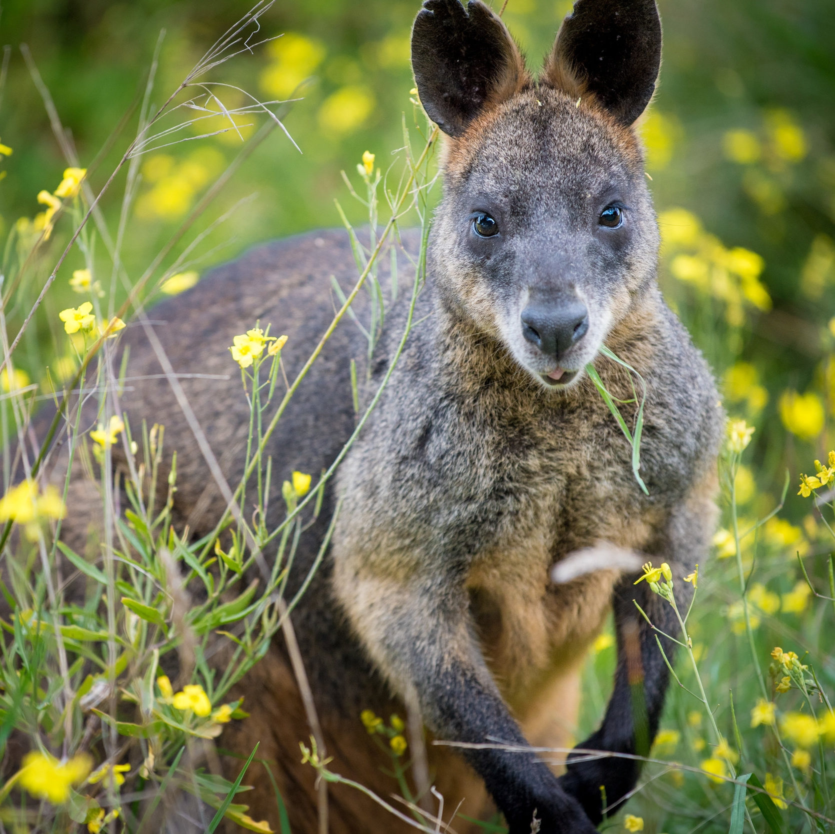 Curious wallabies greet you in the mornings