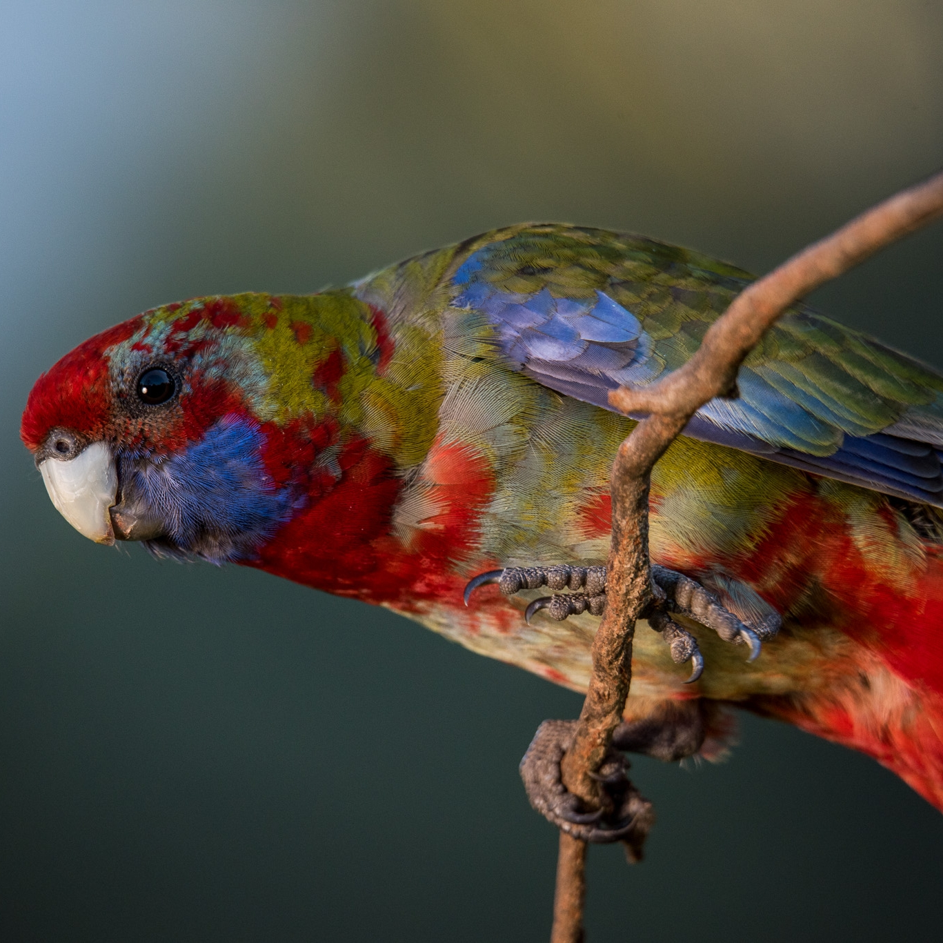 Rosellas in the lodge grounds