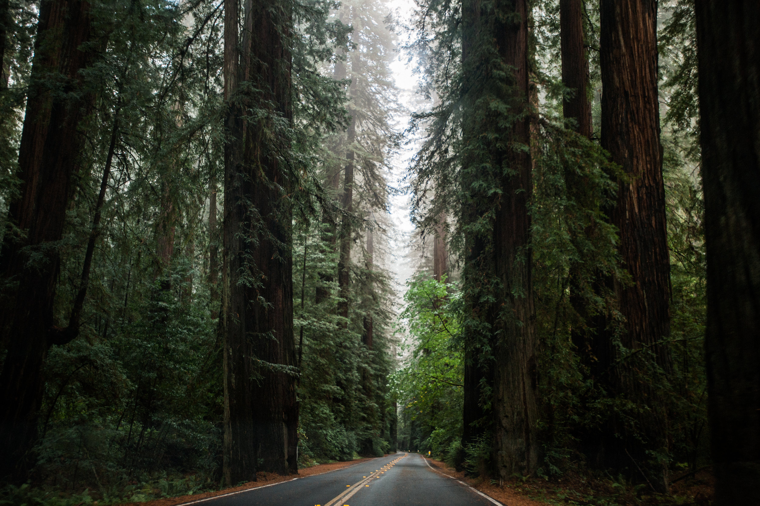 Road Through Red Wood Forest