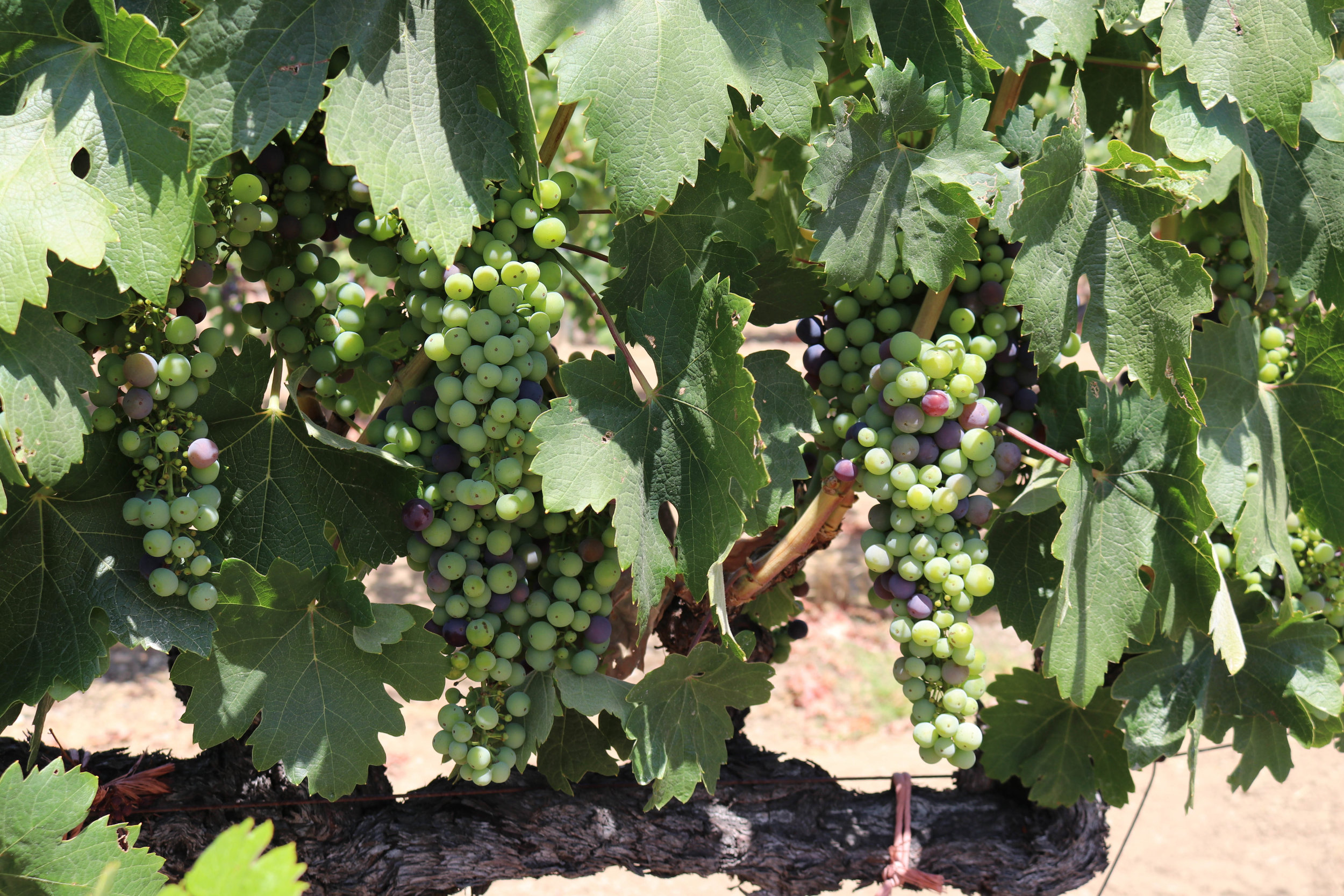 Vines at Mauritson's Wines