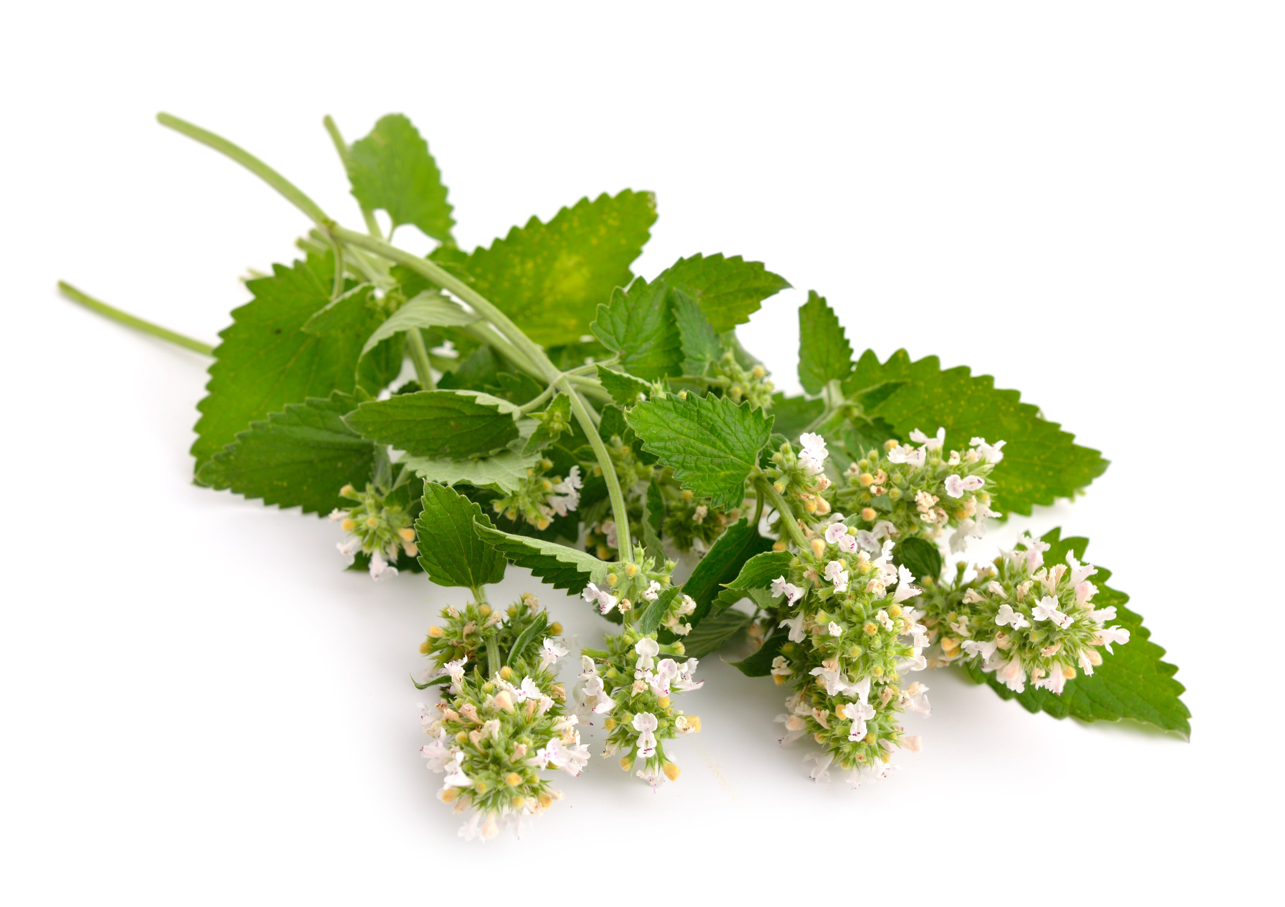 8. Catnip - Did you know the essential oil in catnip (that gives it the strong odour) is about 10 times more effective in repelling mozzies than DEET? (the compound used in chemical sprays) - How's that for a bit of free advice?!