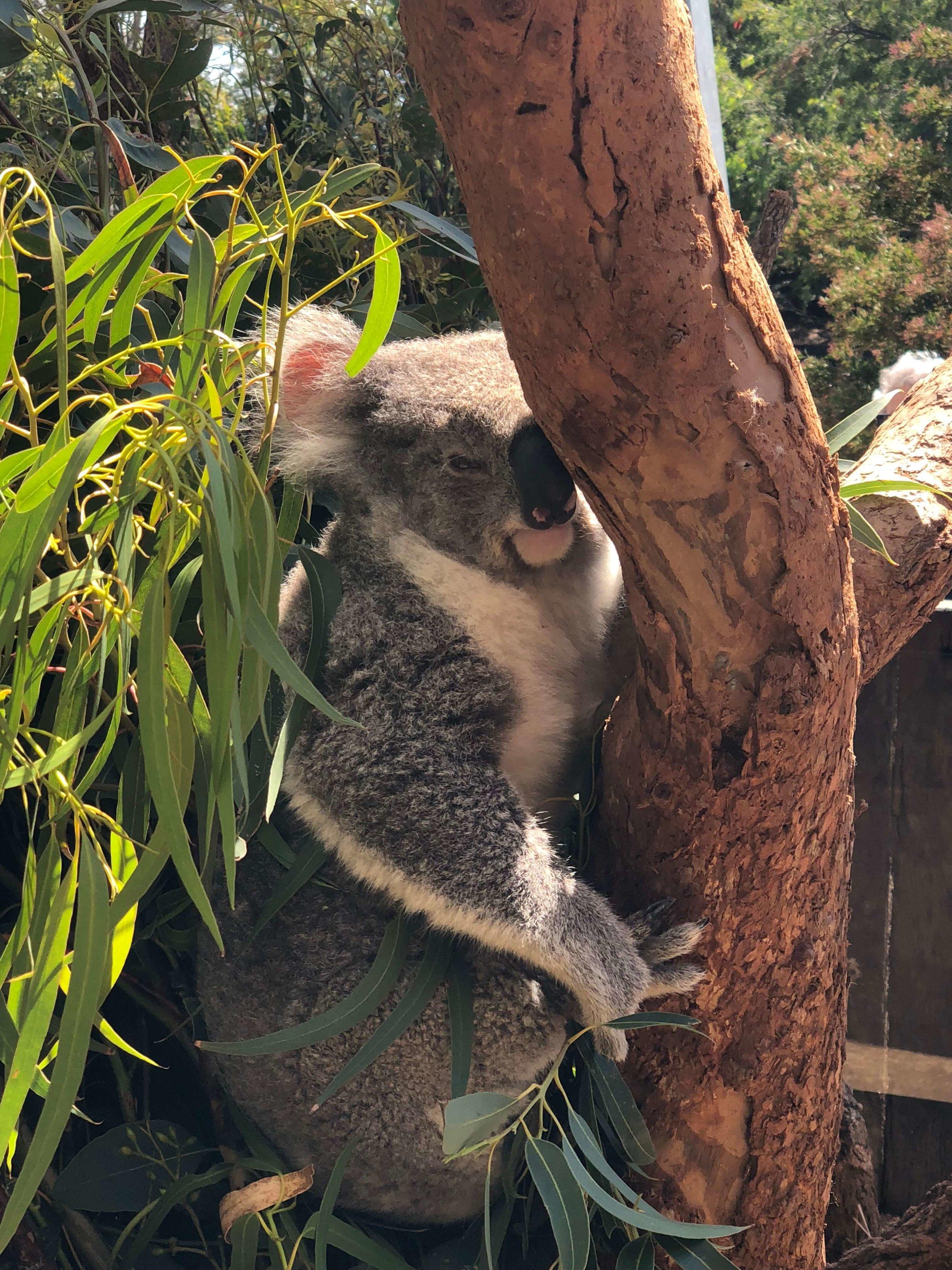 Royal koalas at Taronga Zoo