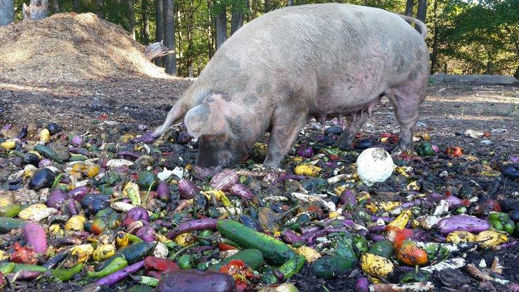 Pig+Eating (1).jpg