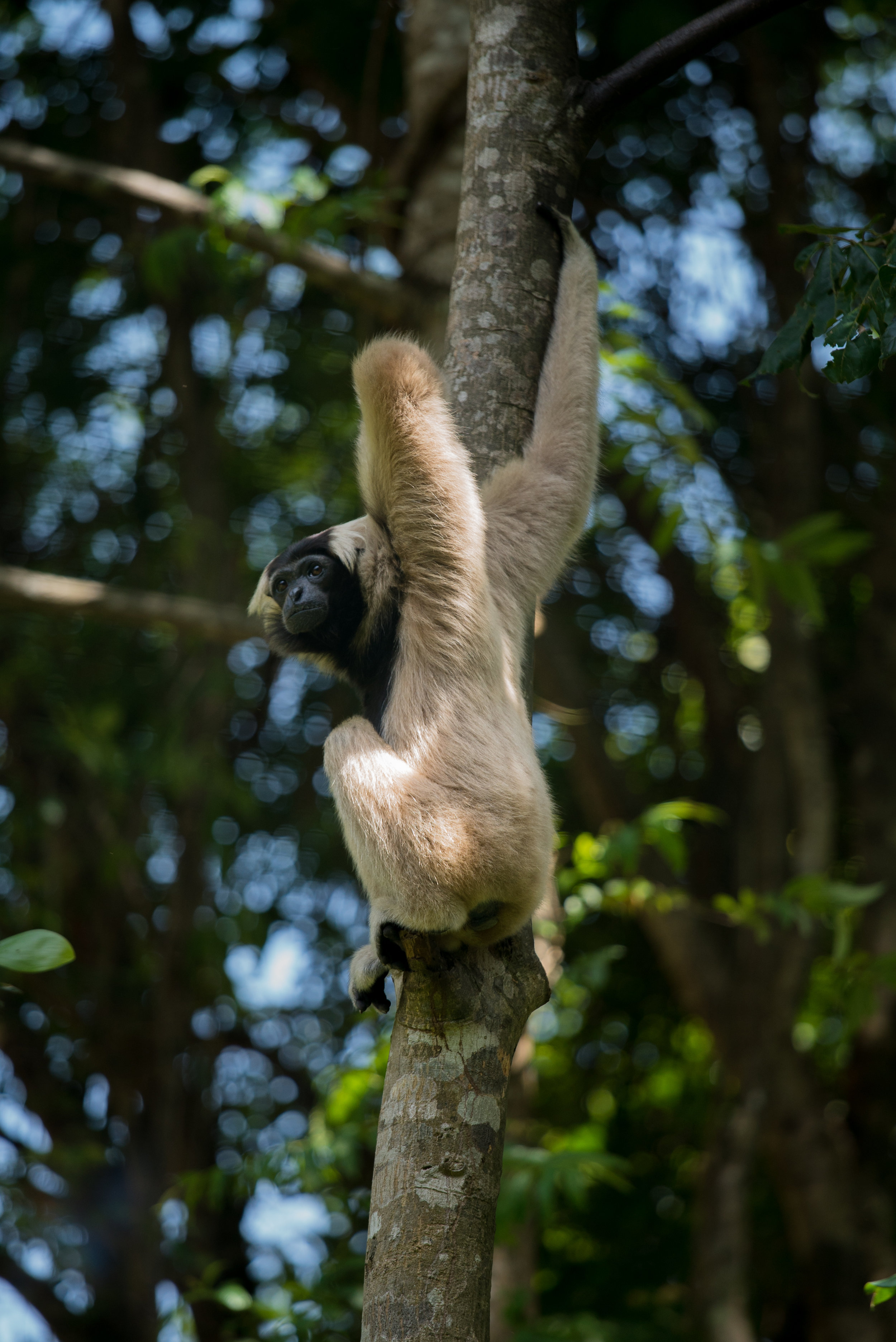 Plieated gibbon_cACCB_Anna Chah-343.jpg