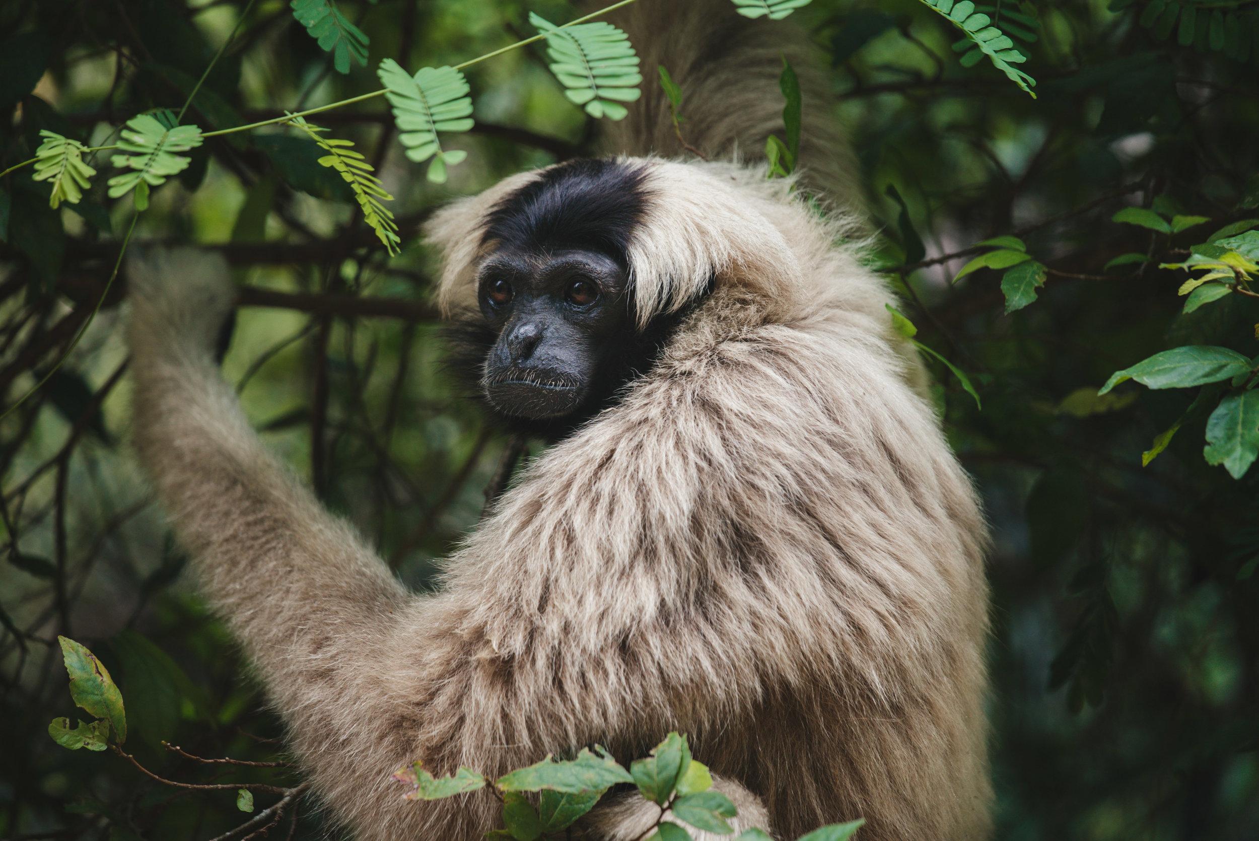 Plieated gibbon_cACCB_Anna Chah-25.jpg