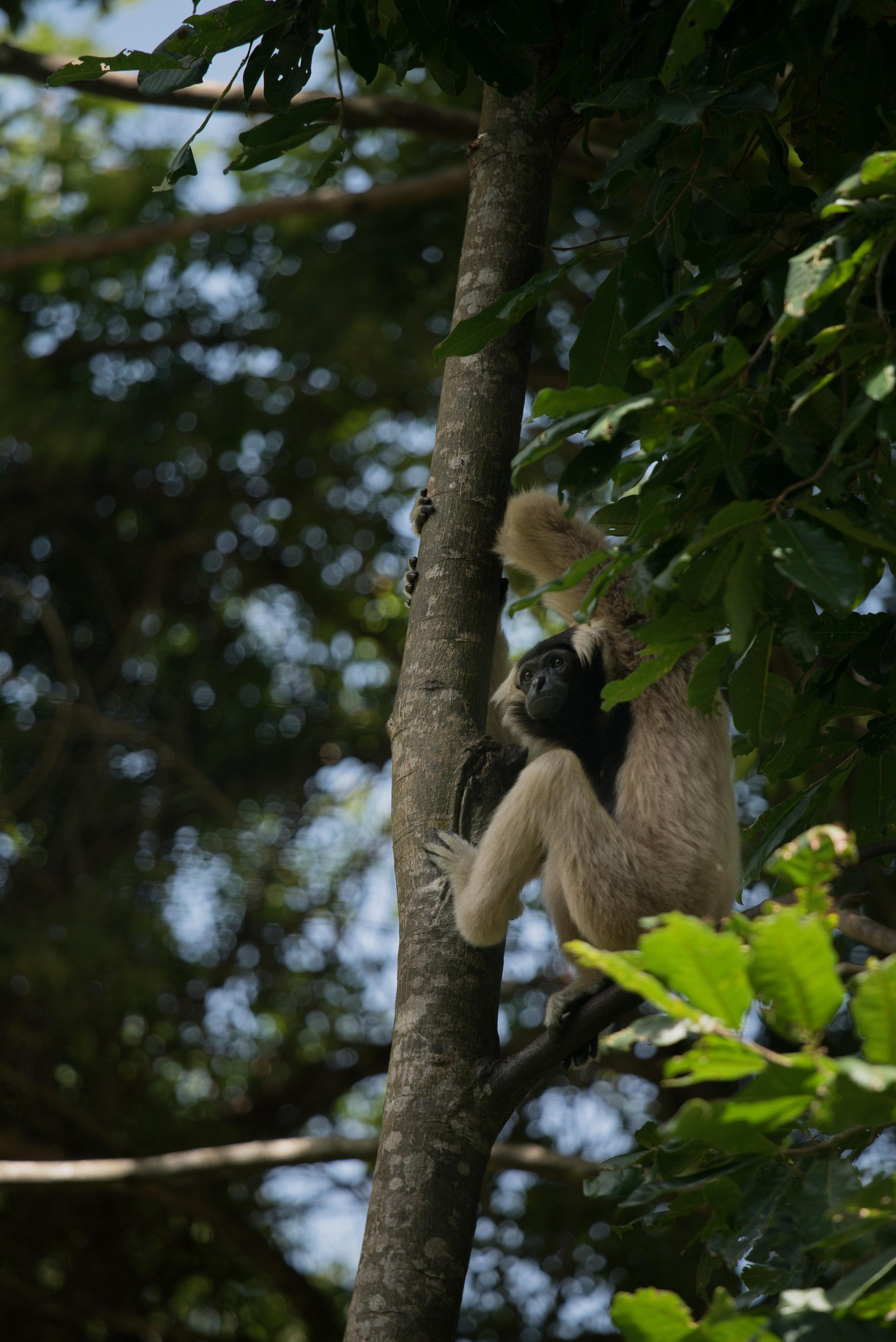 Plieated gibbon_cACCB_Anna Chah-331.jpg