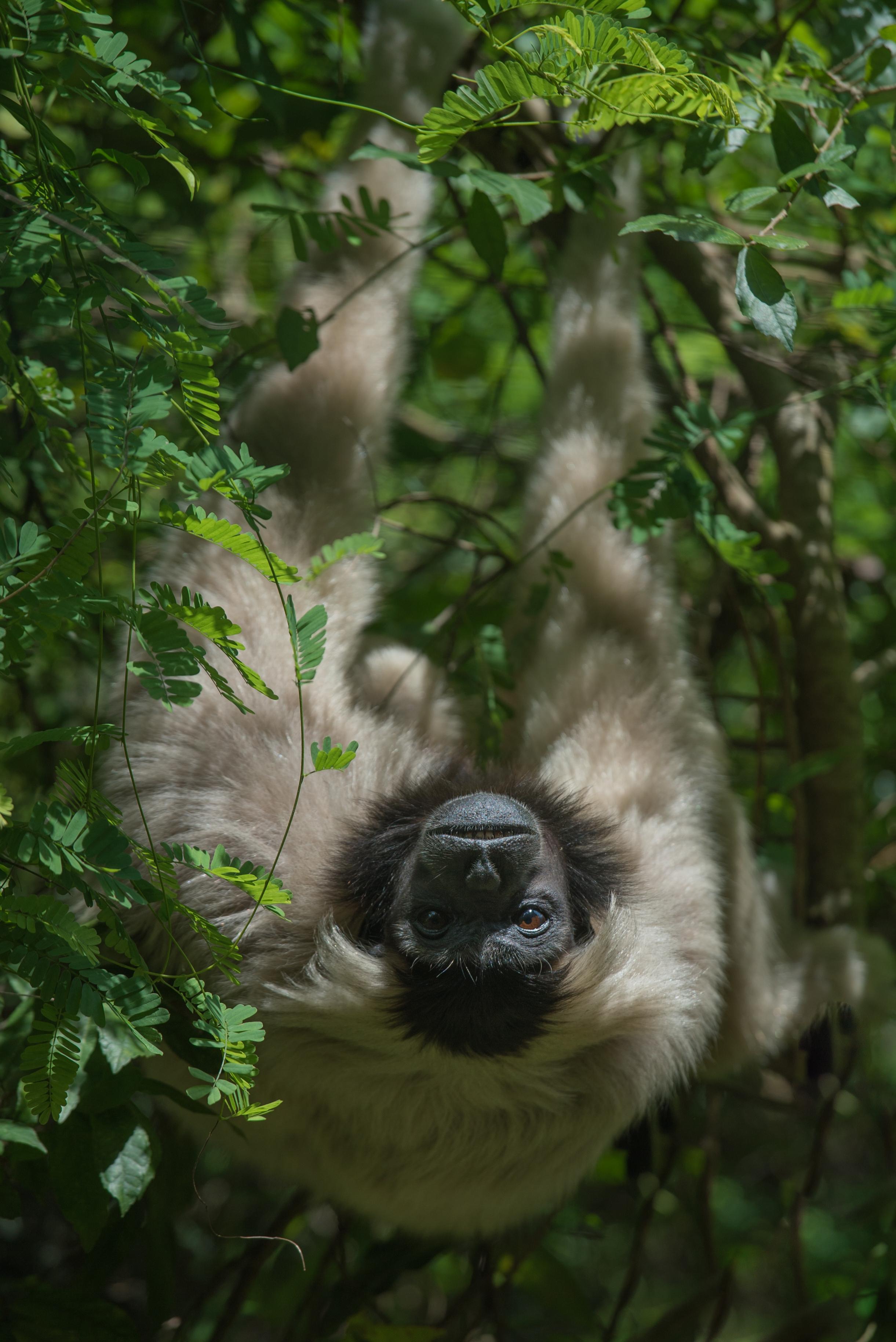 Plieated gibbon_cACCB_Anna Chah-348.jpg
