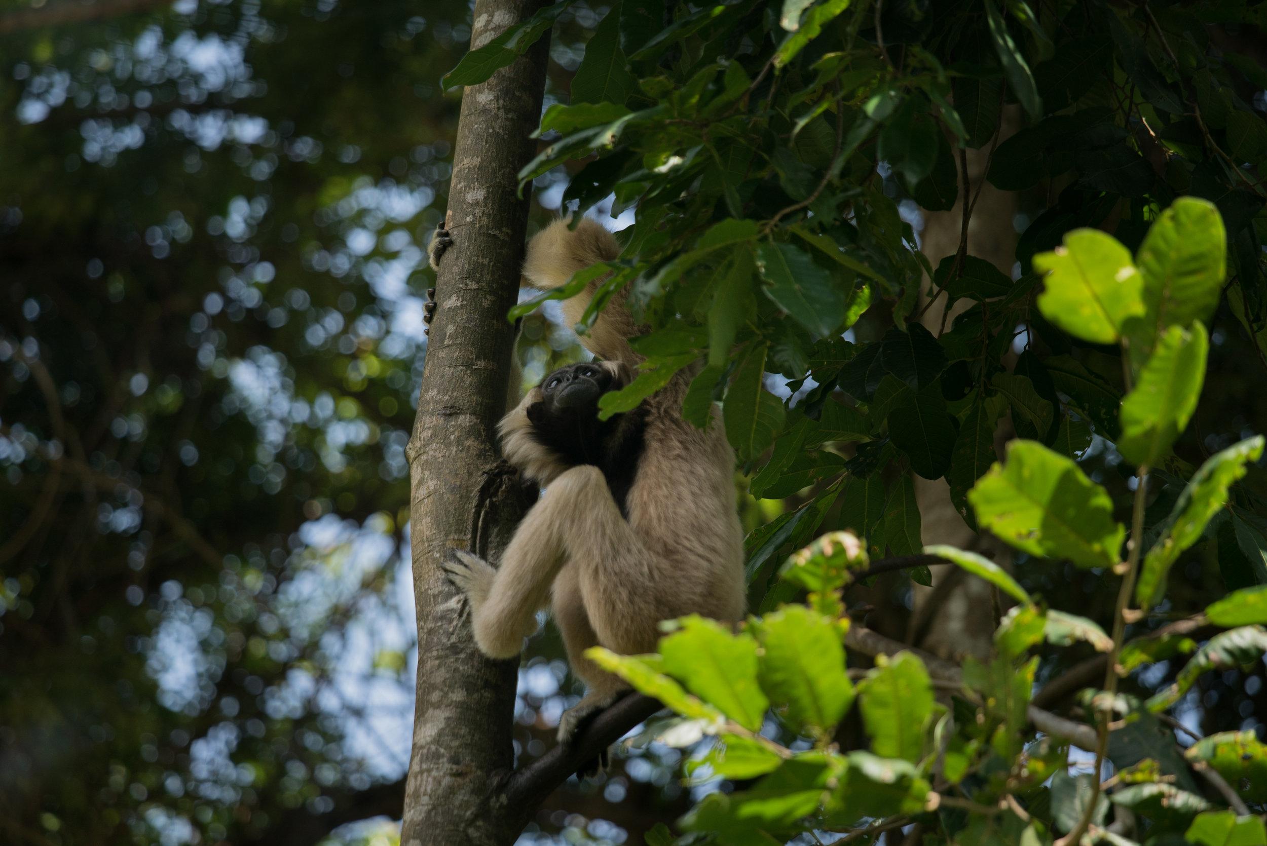 Plieated gibbon_cACCB_Anna Chah-332.jpg