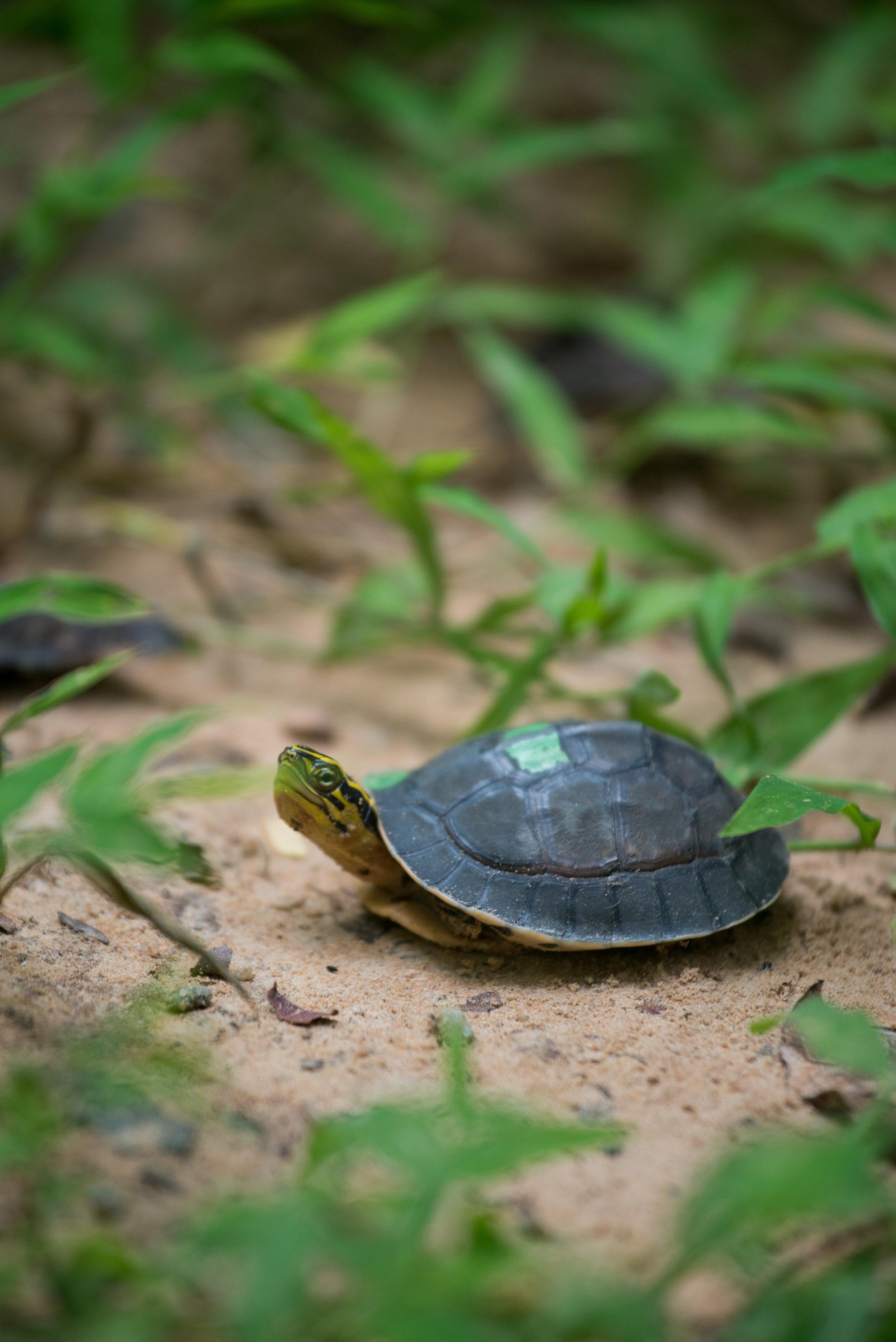 Box turtle project_cACCB_Anna Chah--44.jpg