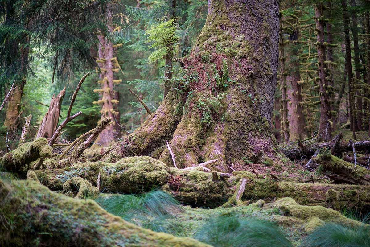 Forest interior on Burnaby Island. Gwaii Haanas, Haida Gwaii, British Columbia, Canada. © Neil Ever Osborne