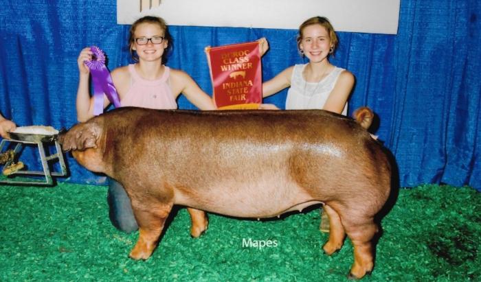 Champion Duroc Junior Division | Indiana State Fair 2016