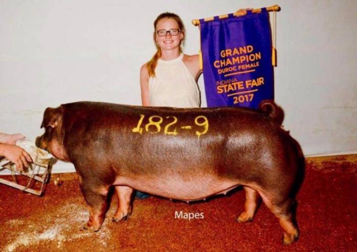 Champion Duroc Gilt |Indiana State Fair Open Show 2017