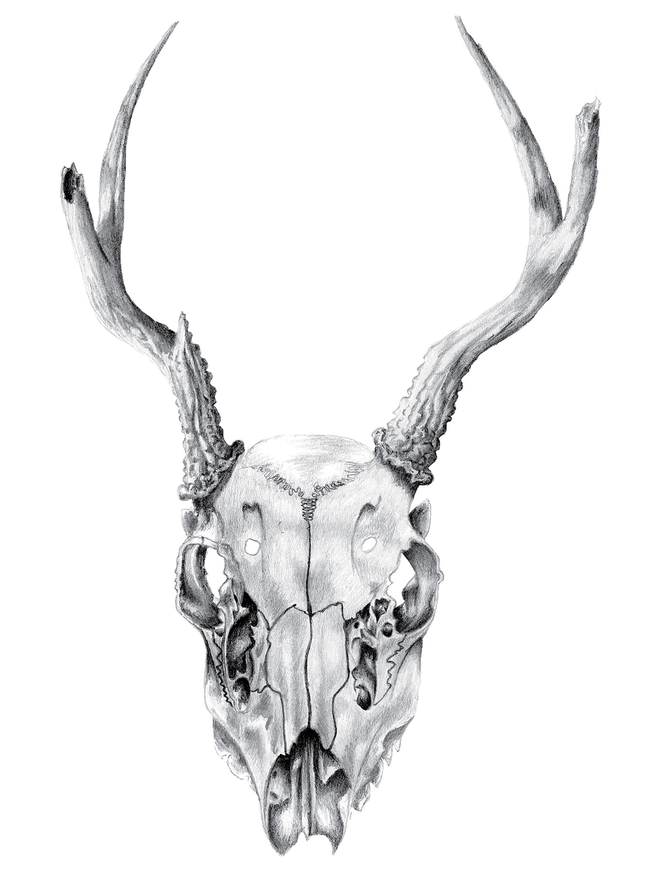 Black Tailed Deer Skull