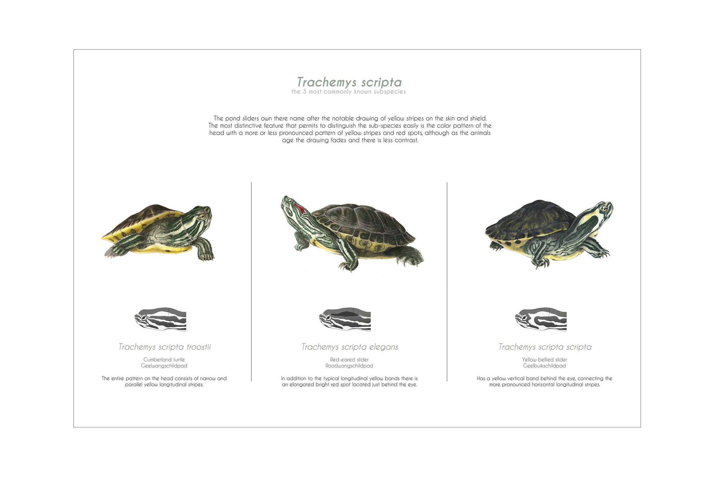 GALLERY_Colour_Trachemys.jpg