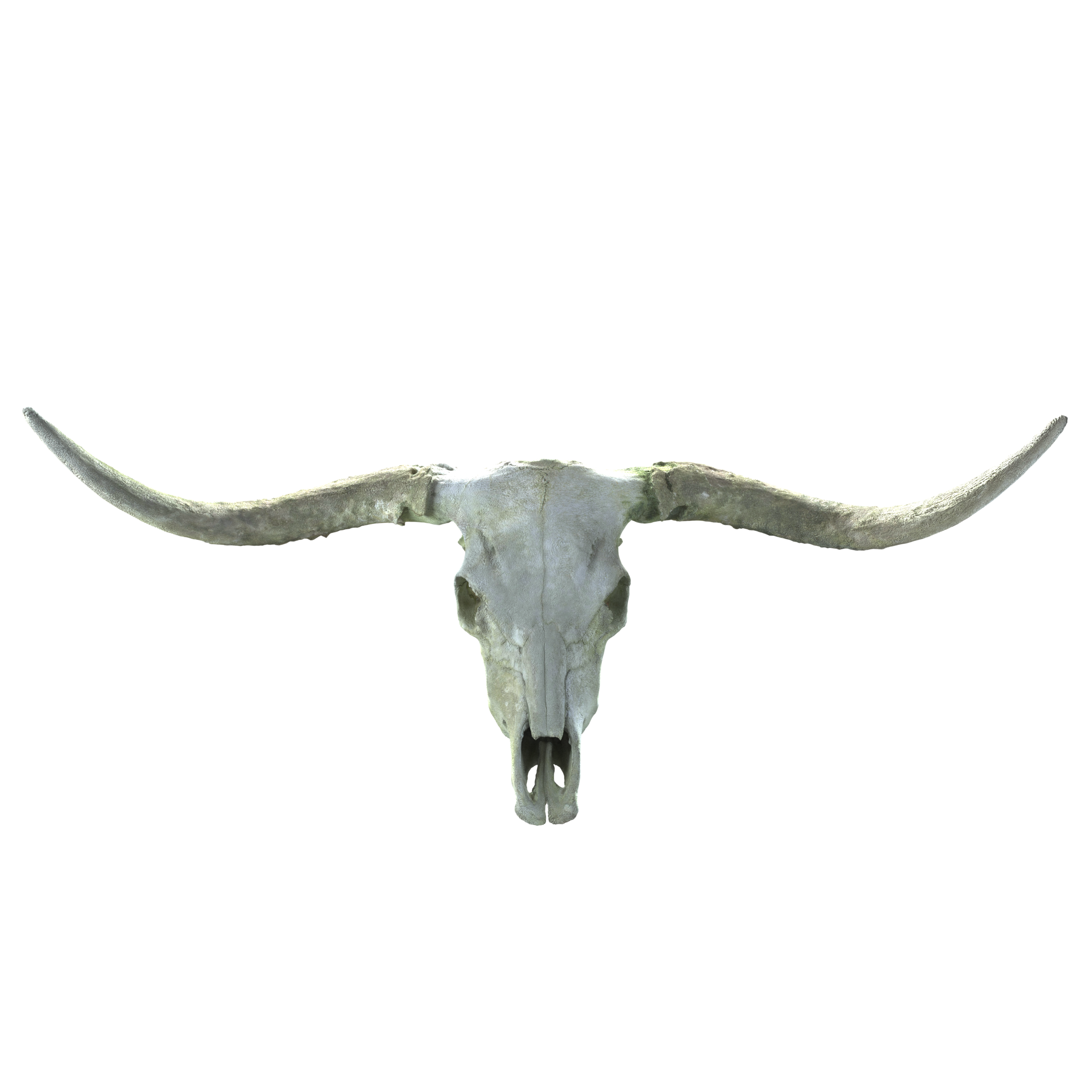 LONG HORN SKULL MODEL - This photo scanned model Pack Includes:-5 OBJ format models-levels of detail from 1200-450,000 polygons.-Diffuse,Normal,Height,Bump, and roughness maps-A c4d File including an Octane material ready to go, Just drag and drop the included textures