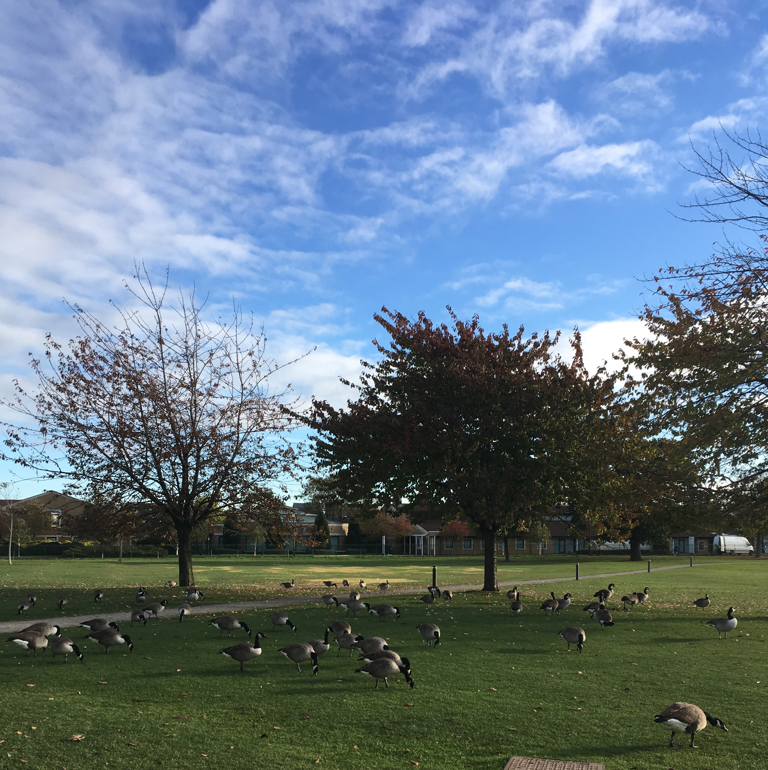 Migrating geese having a rest.