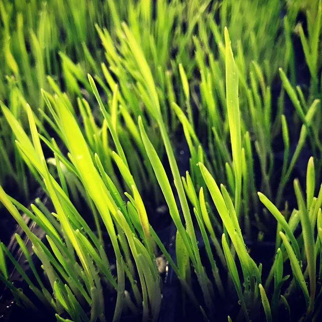What is the closest edible to pure light energy ? Grass, just as it turns green after receiving its first sunlight.😀