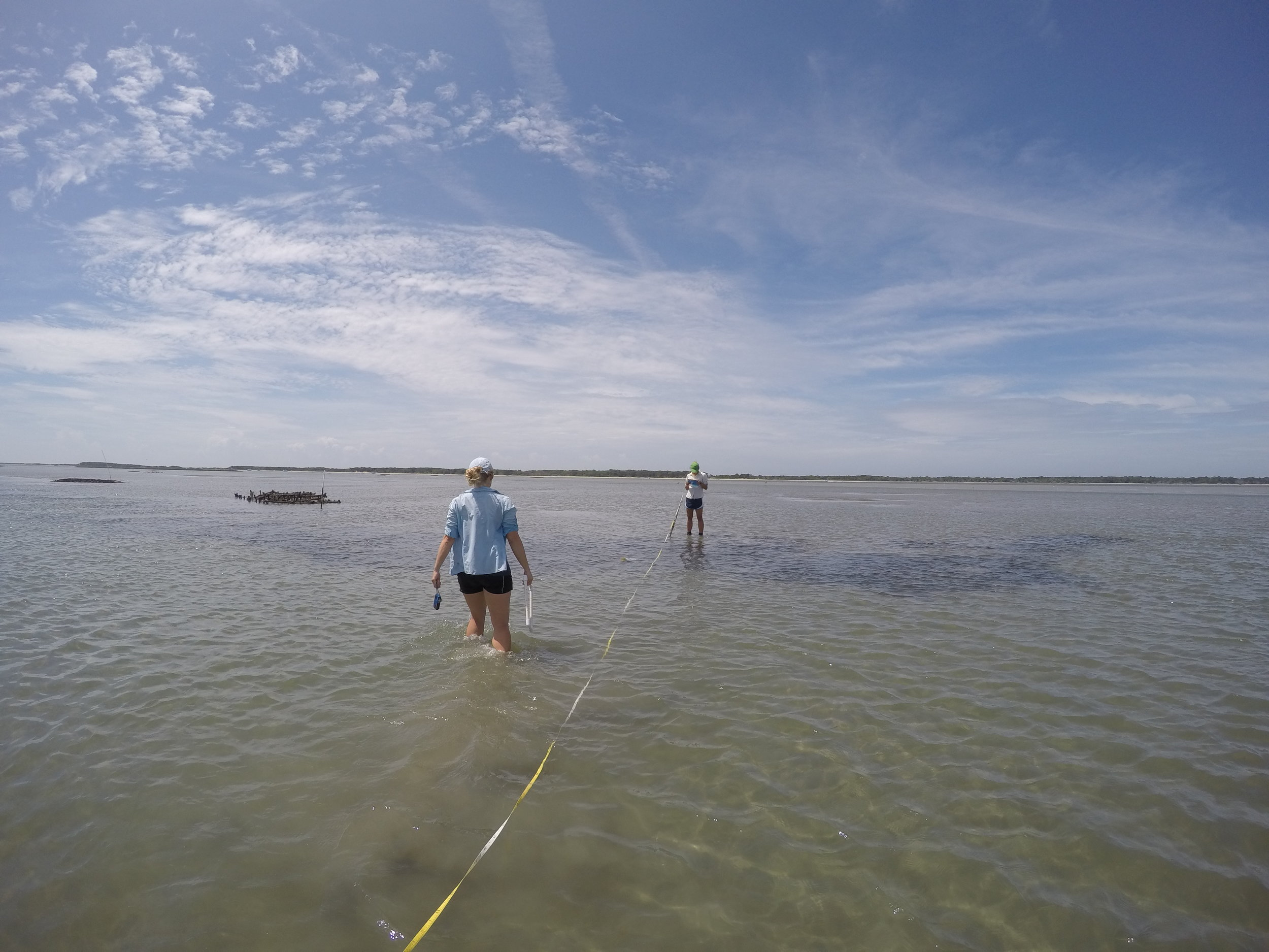 Monitoring seagrass beds in NC to determine how restoring oyster reefs adjacent to existing seagrass beds affects seagrass biomass with Dr. Rachel Gittman.