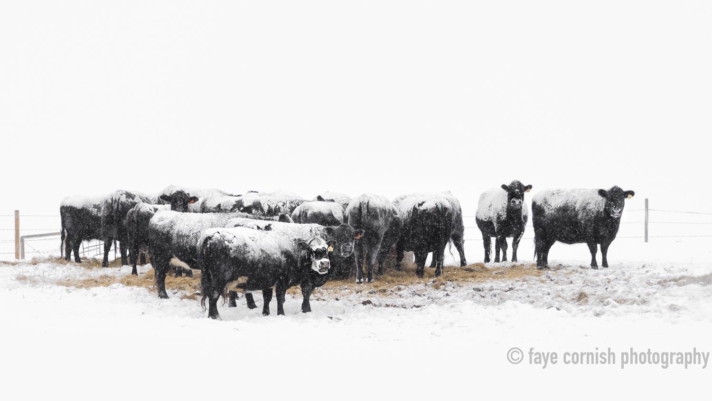 Snowy Cows