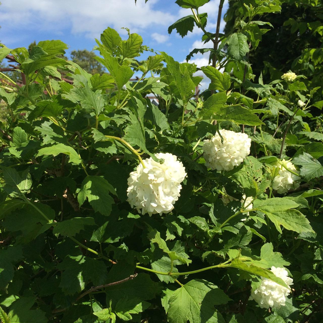 Vackert blommande Snöbolls Olvon
