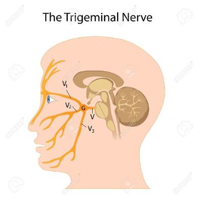 small 042919 trigeminal-nerve.jpg