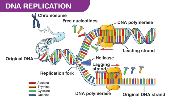 dna-replication-machinery-enzymes.png
