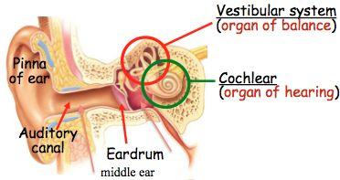 Tne Inner Ear
