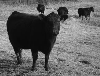 Enchantress - Jennings Enchantress S13 is possibly the best of the Enchantress female line to date. Moderate size and fleshing ability in a feminine package best describes this beautiful angus cow.