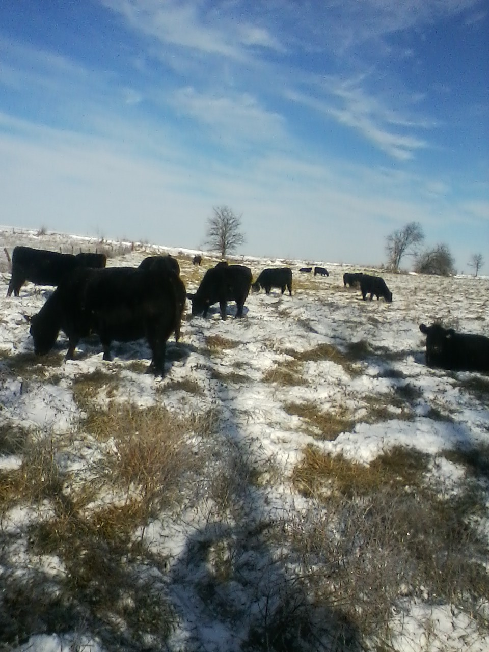 cattle grazing set aside fescue through the snow 1.jpg