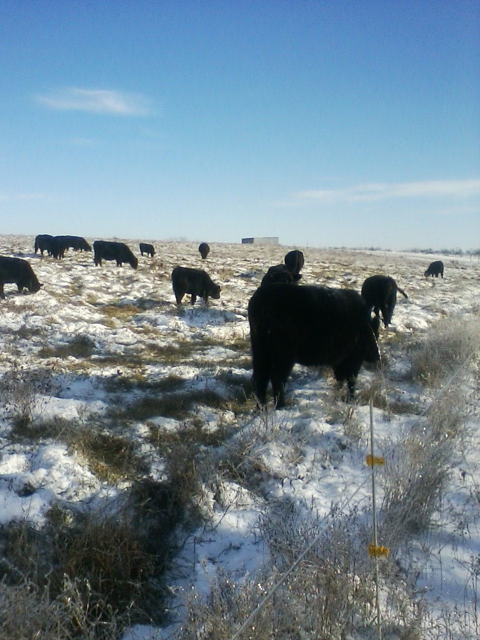 cattle grazing set aside fescue through the snow 2.jpg